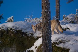 Yellow Eyes and a Blue Sky II by Wodenswolf