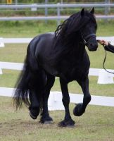 STOCK - Friesian Show 2012-127 by fillyrox