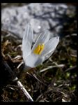 White Spring Miracle by DrCaruso