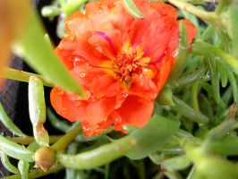 Yet Another Moss Rose? by UrsulaPatch