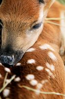 Baby Fawn by intensepizza