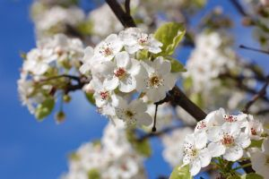 white cherry blossom by theonlysong