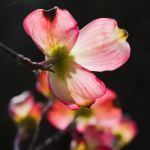 Obvious Dogwood II by pagit