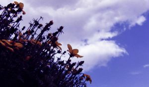 yellow flowers and blue sky by JulLoy