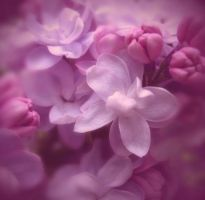 the scent of lilac by guitarsallly