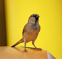 Finch with yellow background by winterface