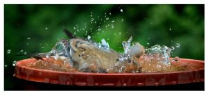 My First Dove Bath by richardcgreen