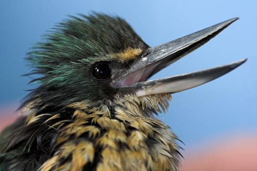Young Kingfisher by carterr