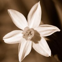 sepia flower by lamorth-the-seeker