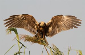 Touch down - Marsh Harrier by Jamie-MacArthur