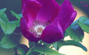 Where The Wild Roses Grow by pixbird