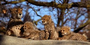 Cheetah 8 by swissnature
