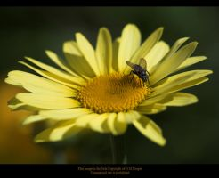 Yellow Daisy Bugged by GMCPhotographics