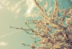 Cherry Blossoms by evilmonkey0013