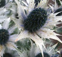 Sea Holly by izzybizy