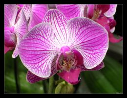 Photo: Orchid by Insidious-Ink