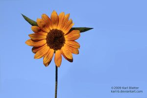Sunflower at Sunset by Karl-B