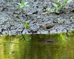 Solitary Sandpiper 2 by natureguy