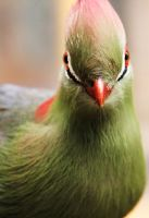 Turaco by deliquescing
