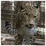 Persian Leopard Approaching by TVD-Photography