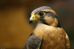 Aplomado Falcon by mydigitalmind