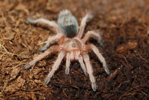 My baby tarantula by Nebulosity