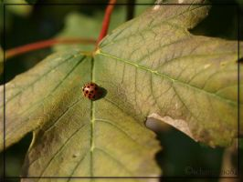 Ladybug 03 by schnegge1984