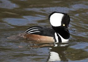 Hooded Merganser by fraughtuk