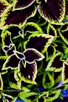 Coleus by thriftyredhead
