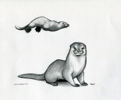 Otter by RobtheDoodler