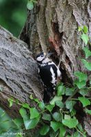 Woodpecker 8 by bluesgrass