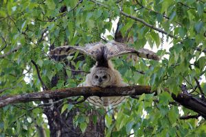 Great Horned Owl stretching 2 by sgt-slaughter