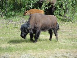 Canadian Bison by FallingWithoutStyle