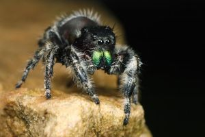 jumping spider summer series 2 by macrojunkie