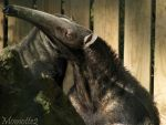 Long nose of the anteater by Momotte2