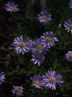 Daisies by HempHat