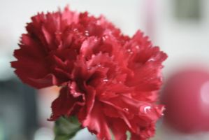 Carnation by Mikuhatsune1xx
