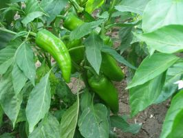 Some Peppers by Fiarrella