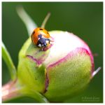 I Love Ladybugs by Cynnalia