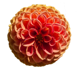 Orange Dahlia 02 PNG.. by Alz-Stock-and-Art