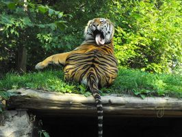 Zoo 100901 - Tiger by WaywardInsecticon
