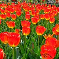 Backlit Tulips by FauxHead