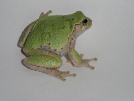 Ghost The Gray Treefrog by MariahEAM