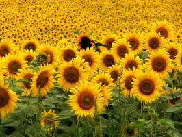 1 in a million, the sunflower by Ften