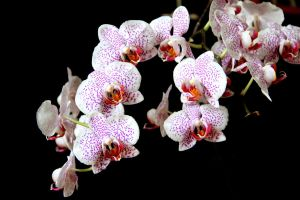 Mom's orchids by Lazysnow