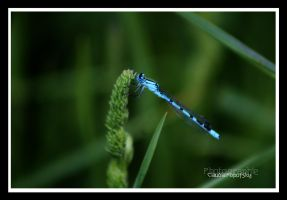 blue Dragonfly by declaudi