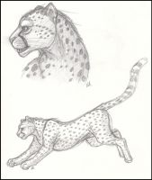 Cheetah sketch study by jesslyra