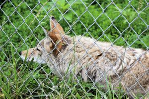 Willow the Coyote by mrcbax