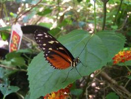 Orange butterfly by Amf624