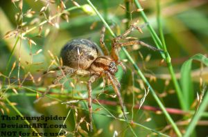 Agelena labyrinthica - full grown female by TheFunnySpider